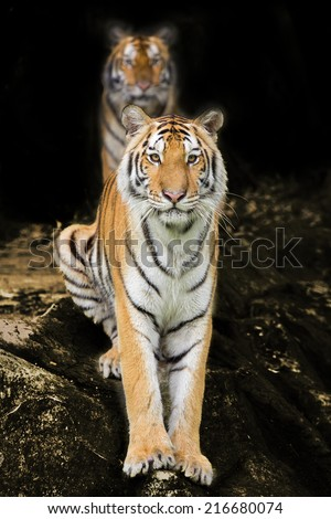 male and female tiger in a romantic pose , in their natural habitat - stock photo