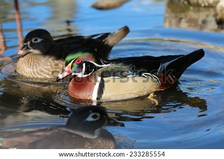 Male and Female Wood Duck /  Male and female Wood Ducks swimming together - stock photo