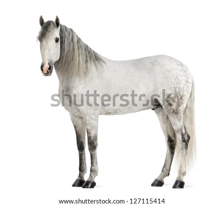 Male Andalusian, 7 years old, also known as the Pure Spanish Horse or PRE against white background - stock photo