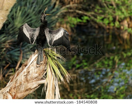 Male Anhinga with wings and beak open wide. - stock photo