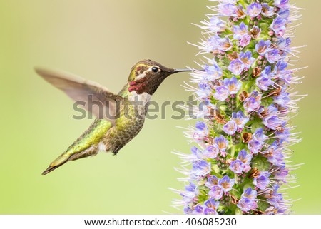 Male Anna's Hummingbird Flying and Eating Pride of Madeira in Green Background