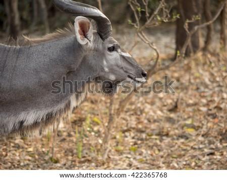 male antelope in the savannah  - stock photo