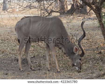 male antelope in the savannah  - stock photo