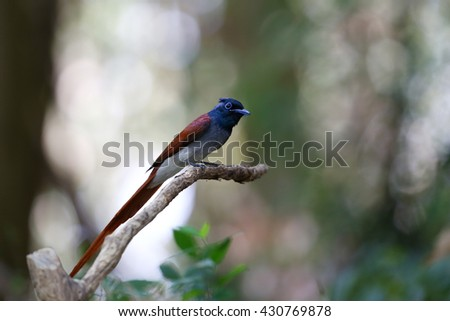 Male Asian paradise flycatcher (Terpsiphone paradisi)