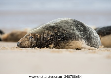 Male Atlantic Grey Seal on Beach/Atlantic Grey Seal/Atlantic Grey Seal (Halichoerus Grypus)