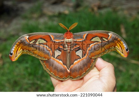 Male attacus atlas moth open wings on hand - stock photo
