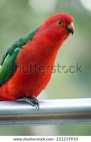 Male Australian King Parrot bird with vibrant colours looking curious - stock photo