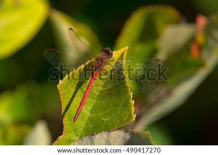 Male Autumn Meadowhawk Dragonfly perched on a leaf.