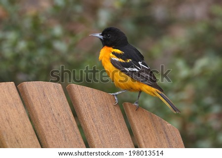 Male Baltimore Oriole (Icterus galbula) Perched on a Chair - Ontario, Canada - stock photo