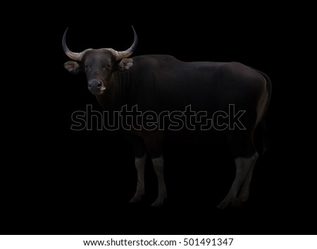 male banteng in the dark with spotlight