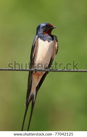 male barn swallow perched on a metal wire, close-up - stock photo