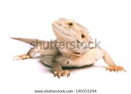 male bearded dragon isolated on white - stock photo