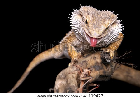 male bearded dragon sitting on a wooden branch catching a grasshopper