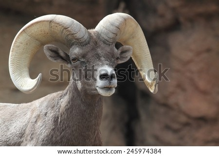 Male Bighorn Sheep (Ovis canadensis) on a rocky cliff - stock photo