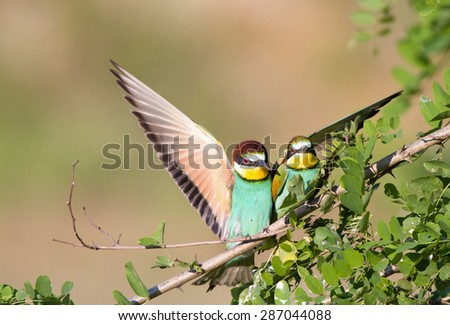 Male bird bee-eater courting to female bird - stock photo