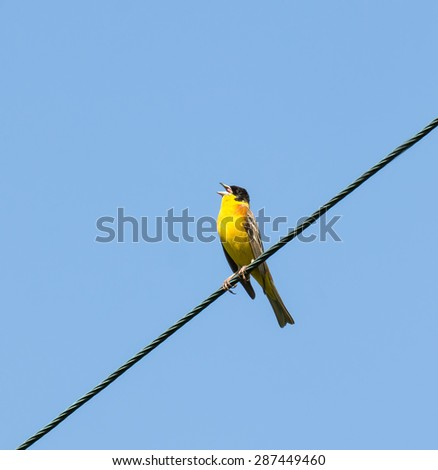 Male Black-headed Bunting on wire on Greek island of Lesvos - stock photo