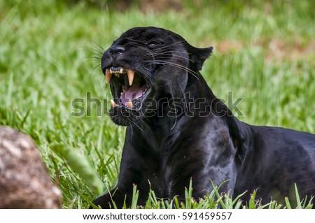 jaguars logo wallpaper