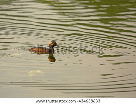 Male black-necked grebe (Podiceps nigricollis) floats on the pond, spring in Poland. Horizontal view.