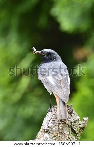 Male Black Redstart with feather - stock photo