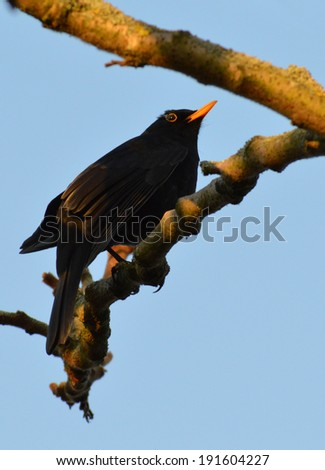 Male Blackbird Alert and Guarding Territory at Sunset