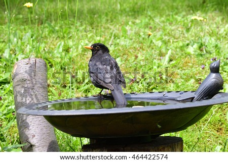 Male Blackbird in a bird bath.