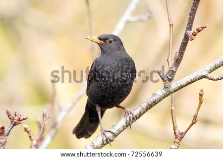Male blackbird in a tree - stock photo