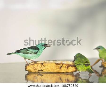 Male Blue Dacnis eating a banana with a female close by. They are colorful light blue and green birds. - stock photo