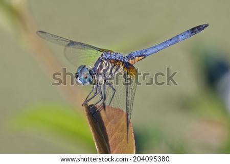 Male Blue Dasher Dragonfly - stock photo