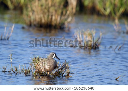 Male Blue-winged Teal in the marsh at Merritt Island National Wildlife Refuge in Florida - stock photo
