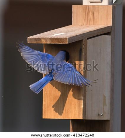 Male Bluebird at bird house. - stock photo