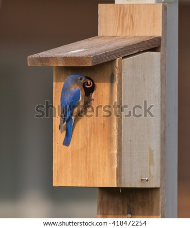Male Bluebird at bird house with food - stock photo