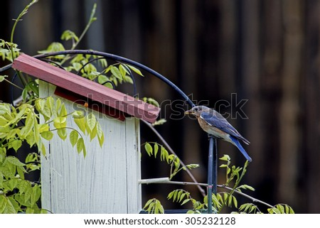Male Bluebird brings food to his babies. - stock photo