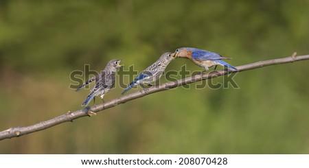 Male bluebird feeding young - stock photo