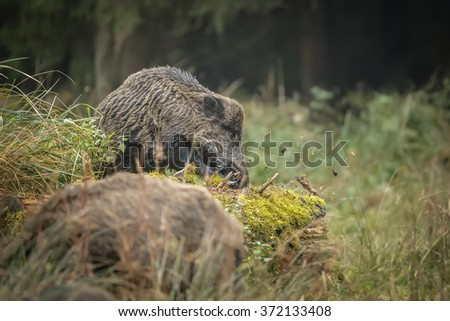 Male boar foraging for grubs in rotting woodland