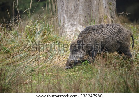 Male boar foraging in long grass