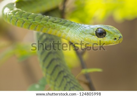 Male Boomslang snake (Dispholidus typus) in South Africa