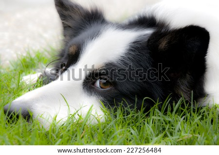 Male border collie lying in the grass - stock photo
