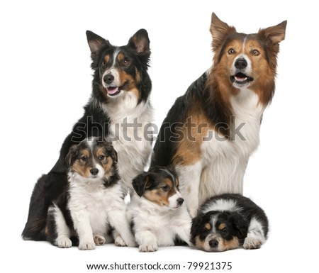 Male Border Collie, 7 years old, Female Border Collie, 3 years old, and Border Collie puppies, 6 weeks old, in front of white background - stock photo