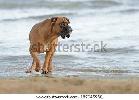 Male boxer dog playing at the beach