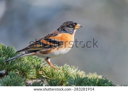 Male brambling on a cedar branch - stock photo