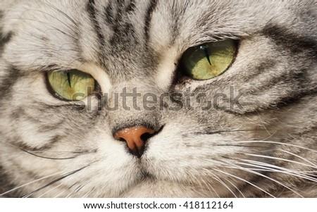 male British shorthair cat  - stock photo
