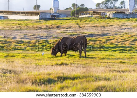 Male brown bull cow in pasture at sunrise - stock photo