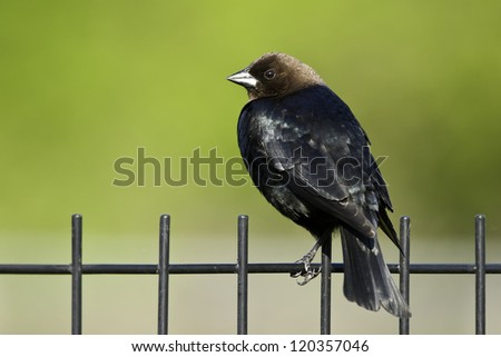Male Brown-headed Cowbird perched on a wrought iron fence.