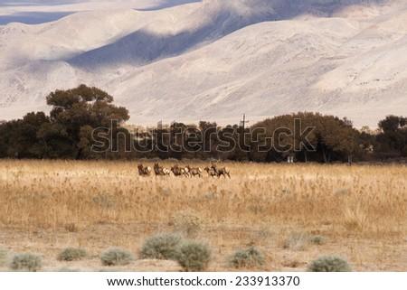 Male Bull Elk Leads Female Animal Mates Wild Livestock - stock photo