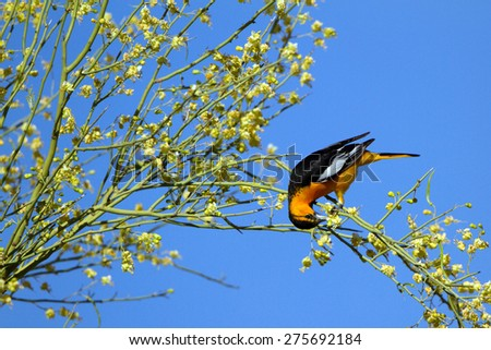 Male Bullock's Oriole feeds in a flowering Palo Verde tree in Organ Pipe Cactus National Monument in southern Arizona - stock photo
