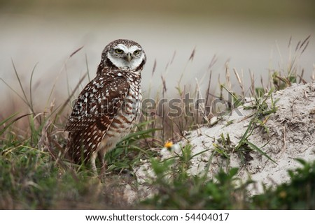Male Burrowing Owl protecting his burrow and young Owlets. - stock photo
