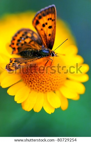 Male butterfly Scarce Copper , Lycaena virgaureae - vertical photo