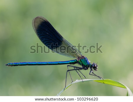 Male Calopteryx splendens Dragonfly (  Banded Demoiselle) resting on a grass leaf