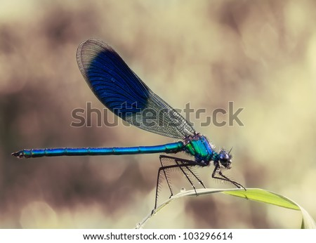 Male Calopteryx splendens Dragonfly (  Banded Demoiselle) with an awesome background