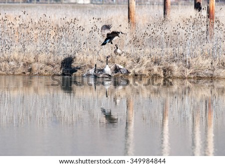 Male Canada geese fighting over territory and females; one male is attempting to chase the other male away - stock photo